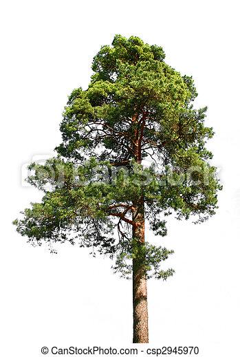 Lone pine tree on white - csp2945970