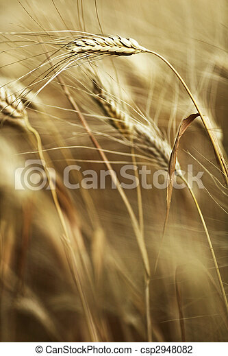 Ears of ripe barley ready for harvest growing in a farm field - csp2948082