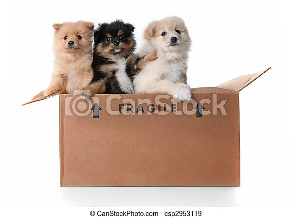 Image of 3 Pomeranian Puppies in a Cardboard Box - csp2953119