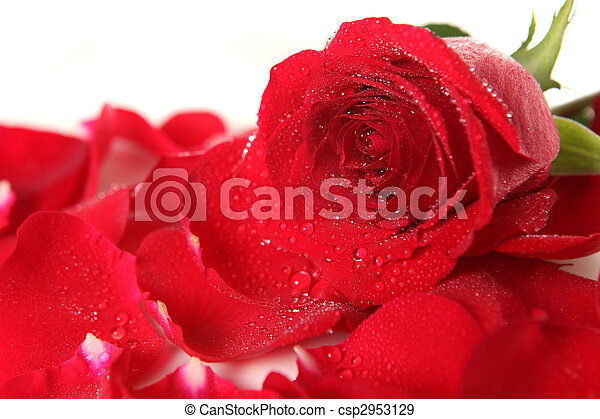 Red Rose Lying Among Petals With Dew Drops - csp2953129