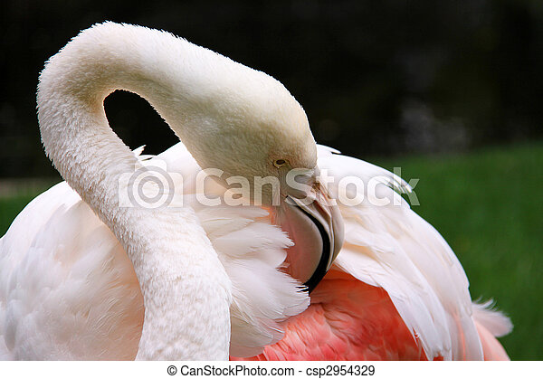 Greater Flamingo grooming - Phoenicopterus ruber roseus.  This is the oldest known Greater Flamingo according to Wikipedia (located at Adelaide Zoo, Australia). - csp2954329