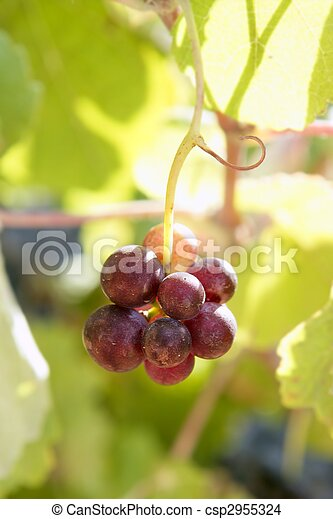 Agriculture wine red grapefruit field - csp2955324