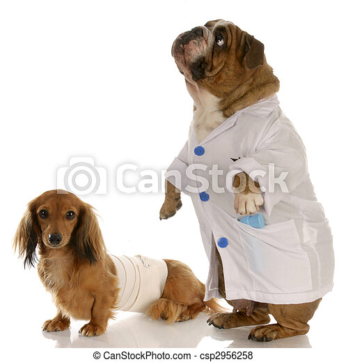 english bulldog doctor or vet with wounded dachshund - csp2956258