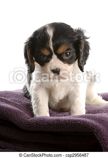 six week old tri color cavalier king charles spaniel puppy - csp2956487