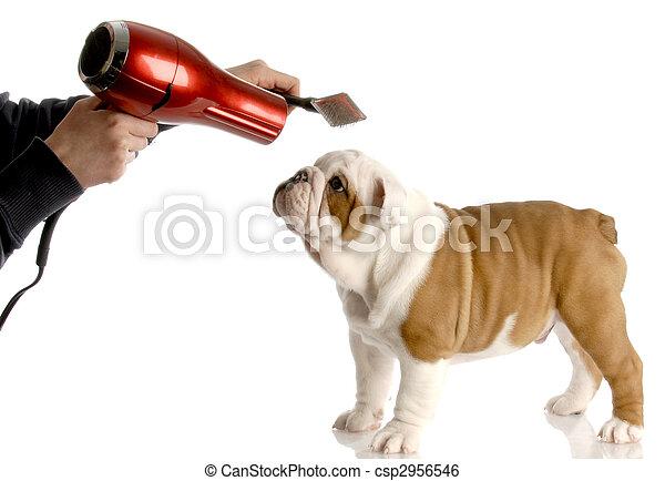 dog grooming - hands brushing nine week old english bulldog - csp2956546