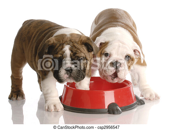 two nine week old english bulldogs puppies and a red dog food dish - csp2956547
