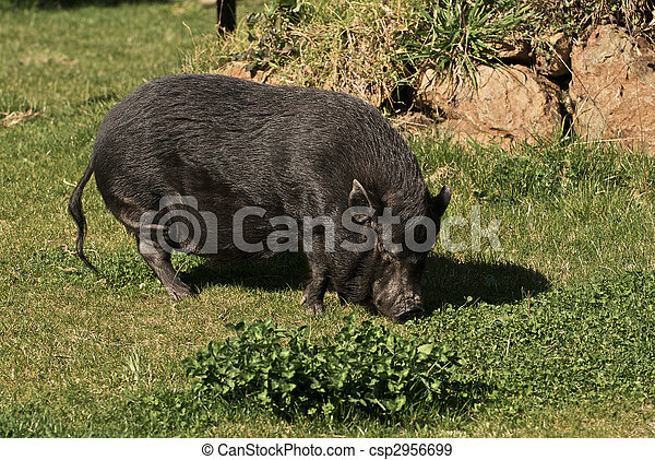 A Large Pot-Belly Pig lumbers across the farmyard - csp2956699
