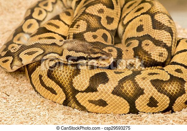 Python Royal python
