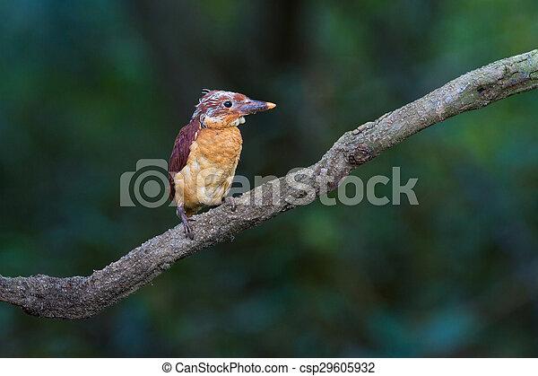 Ruddy Kingfisher Juvenile - csp29605932