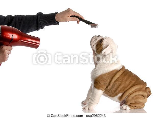 dog grooming - hands brushing nine week old english bulldog - csp2962243