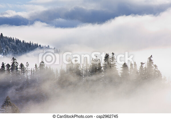 Inspirational Pictures of Pine Trees covered in mist - csp2962745
