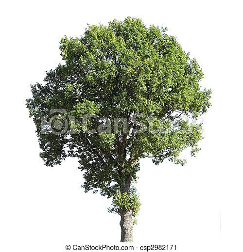 Ořech strom