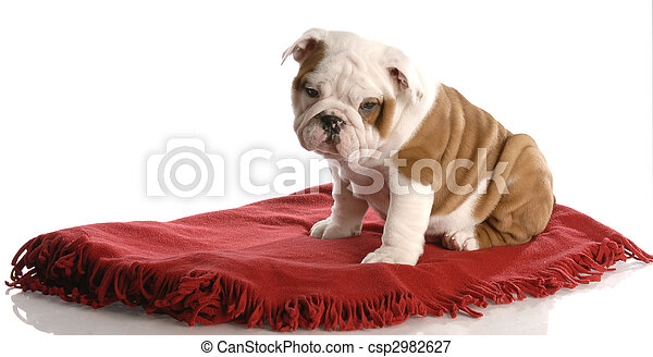 nine week old english bulldog puppy sitting on a red blanket - csp2982627