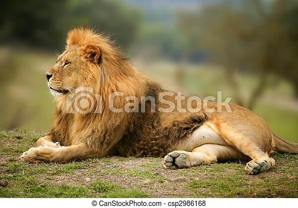 Beautiful Lion wild male animal portrait - csp2986168