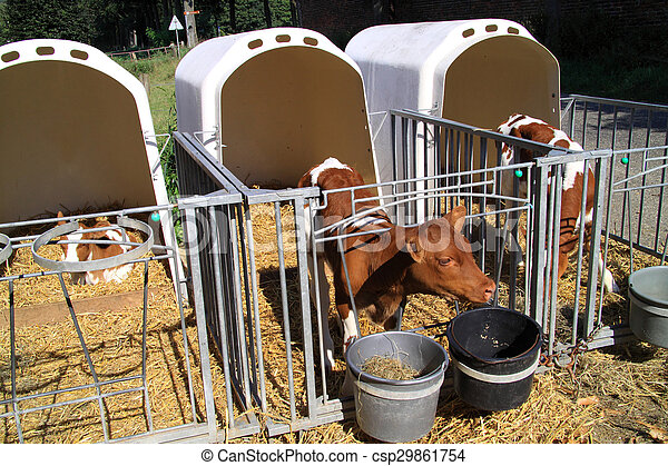 Young cows are kept apart