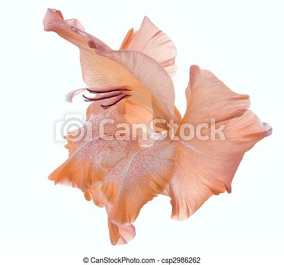 gladiolus - csp2986262
