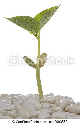 photos de haricot vert jeune plante grew haricot grain csp2993583 recherchez des images. Black Bedroom Furniture Sets. Home Design Ideas