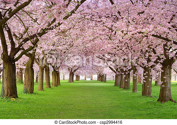 Cherry blossoms plenitude - csp2994416