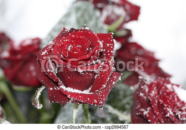 solitaire snow rose - csp2994567