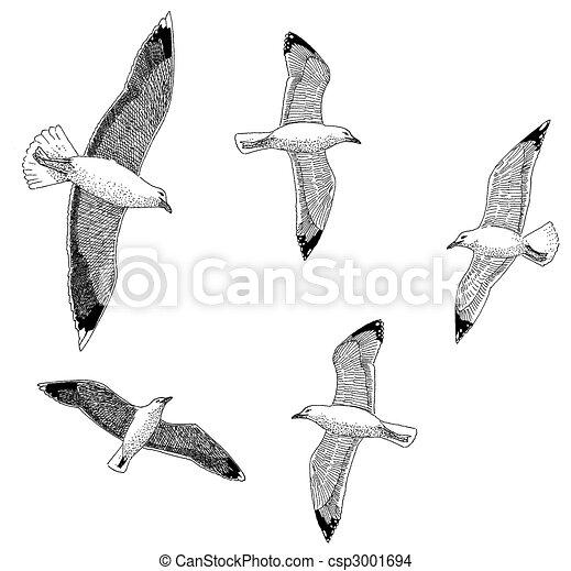 Herring & Great Black-backed Gulls - csp3001694