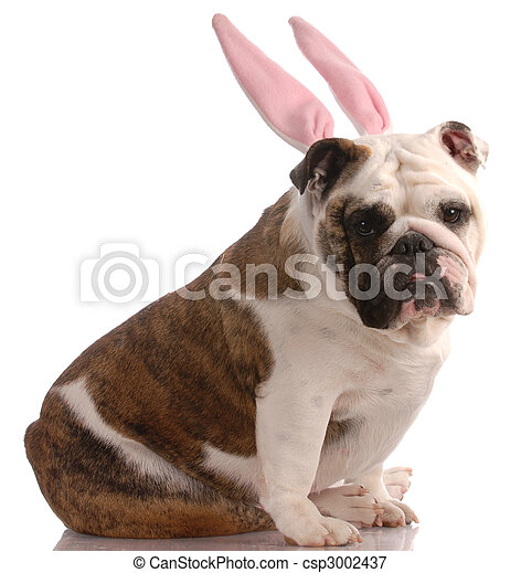 english bulldog wearing pink rabbit ears with reflection on white background - csp3002437