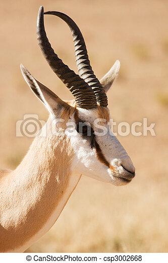 Closeup portrait of a Springbok gazelle - csp3002668