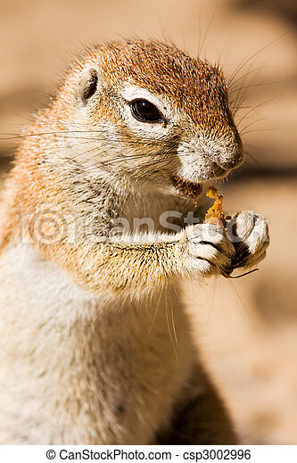 Watchful ground squirrel eating - csp3002996