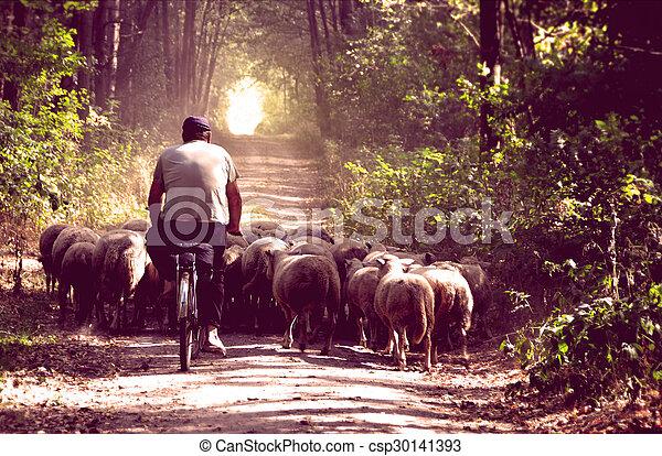 Shepherd on bike with his sheeps. Vintage style