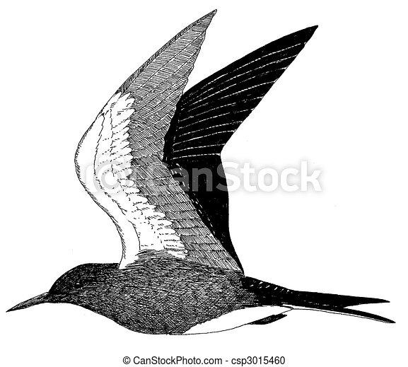 White Tern Drawing Sooty Tern Csp3015460