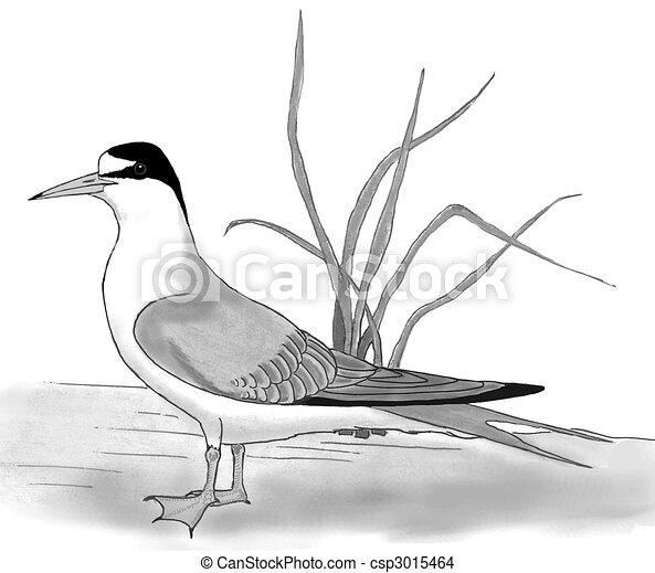 White Tern Drawing Least Tern Drawing