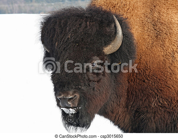 Impressive bison out at hibernal feed - csp3015650