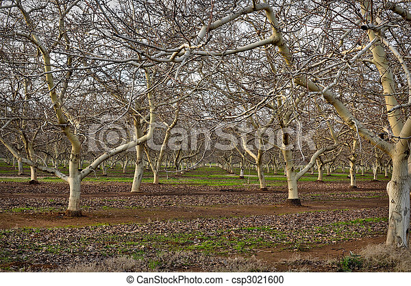 Almond Orchard in Winter - csp3021600