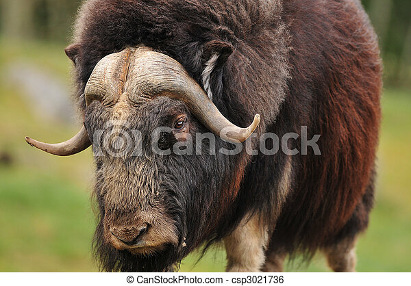 Giant musk ox - csp3021736