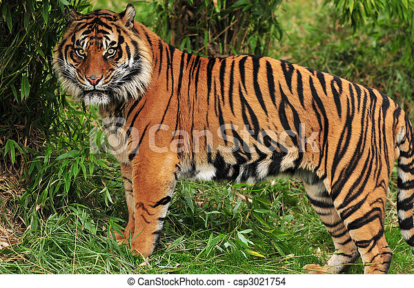 photo de tigre jungle adulte bengale tigre tachet. Black Bedroom Furniture Sets. Home Design Ideas
