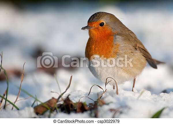 Cute robin on snow in winter - csp3022979