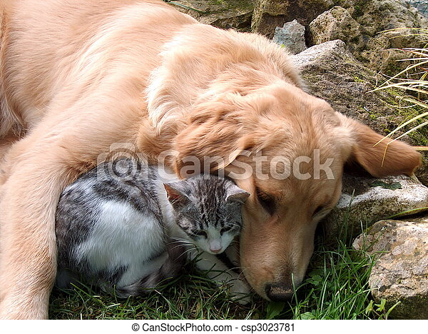 Best friends, domestic cat and golden retriever.