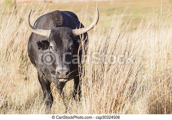 Cattle Bull Danger