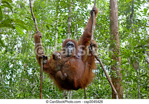 Orangutan with her baby - csp3045426