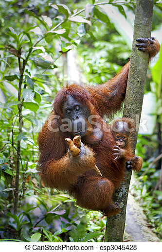 Orangutan with her baby - csp3045428