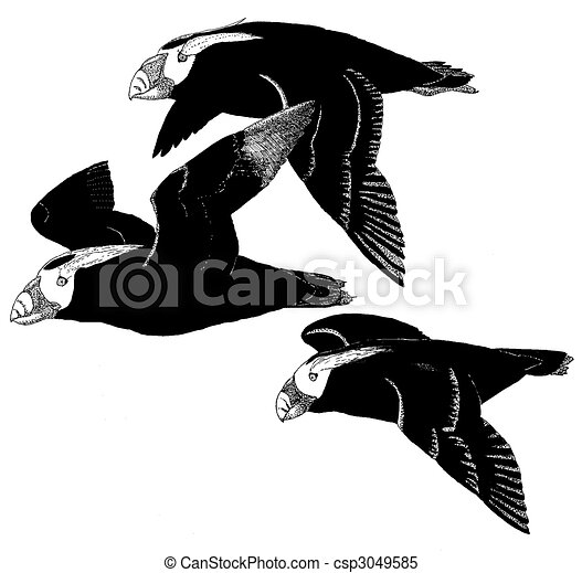 Stock Illustrations of Tufted Puffin - Fratercula cirrhata ...