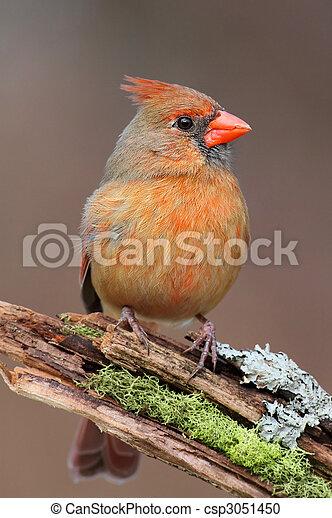 Cardinal On A Branch - csp3051450