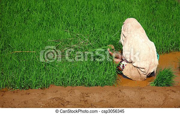 woman, planting rice - csp3056345