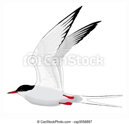 White Tern Drawing Common Tern Csp3056897