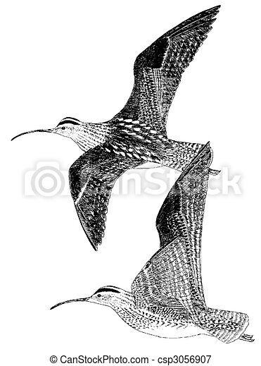 Whimbrel - csp3056907
