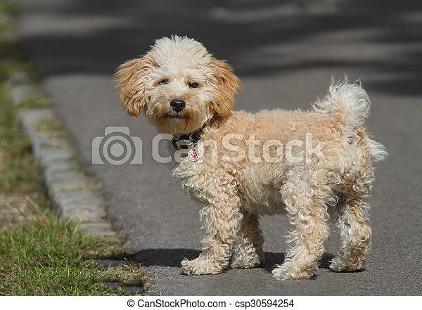 Cavapoo Puppy - csp30594254