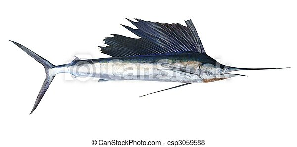 Sailfish real fish isolated on white - csp3059588