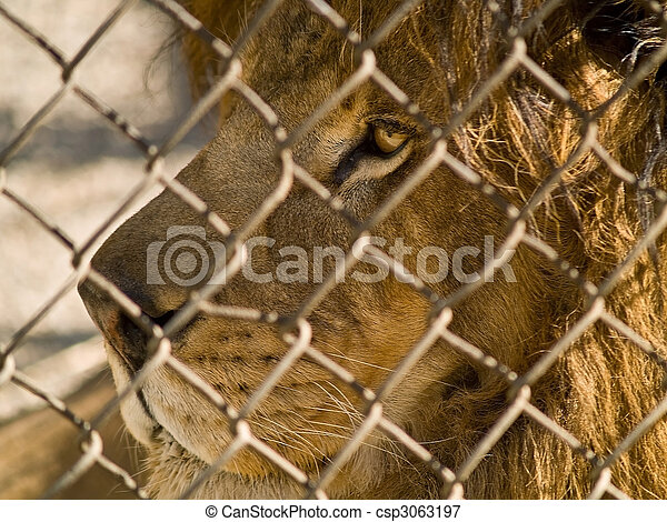 The King of the Beasts in captivity - csp3063197