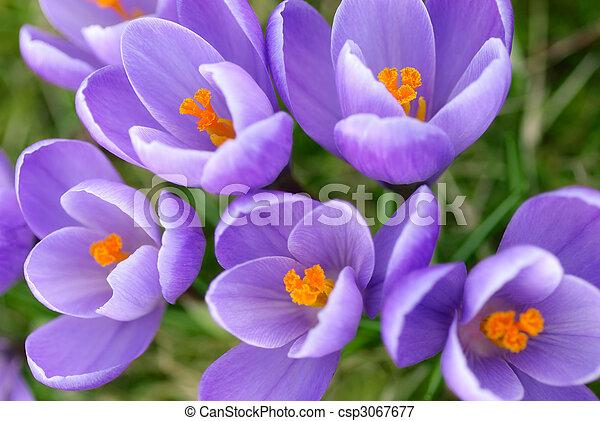 Closeup of purple crocuses - csp3067677
