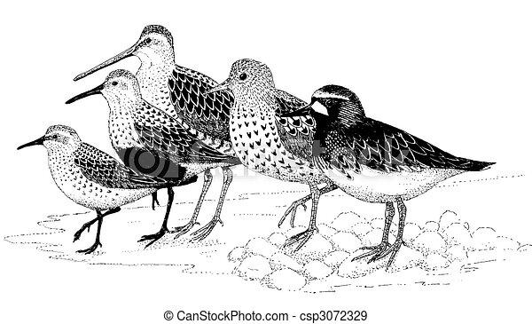 Shorebirds of Homer - csp3072329