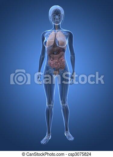 female anatomy - csp3075824